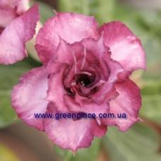 Привитое растение Адениум Тучный TRIPLE KING BLUE MAGENTA