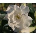 Привитое растение Адениум (Adenium) Obesum TRIPLE WHITE ROSES