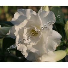Прищеплена рослина Аденіум Тучний TRIPLE WHITE ROSES
