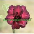 Прищеплена рослина Аденіум (Adenium) Obesum PURPLE RAIN