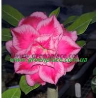 Прищеплена рослина Аденіум (Adenium) Obesum TRIPLE CORAL OMNIA