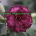 Прищеплена рослина Аденіум (Adenium) Obesum TRIPLE PURPLE ALOHA