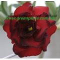 Привитое растение Адениум (Adenium) Obesum TRIPLE TWILIGHT
