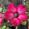 Прищеплена рослина Аденіум (Adenium) Obesum Z2