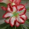 Прищеплена рослина Аденіум (Adenium) Obesum Z3