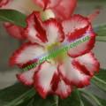 Привитое растение Адениум (Adenium) Obesum Z3