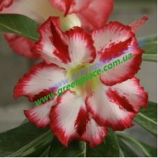 Прищеплена рослина Аденіум Тучний Z3