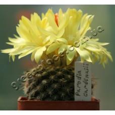 Рослина Кактус Parodia cardenasii