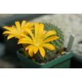 Растение Кактус Rebutia marsoneri (d=2~3 cm)