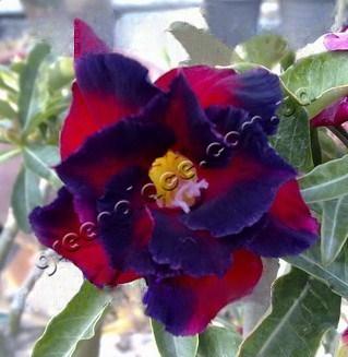 adenium obesum desert rose double garnet
