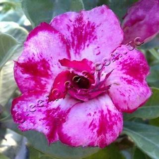 adenium obesum desert rose double pink stone