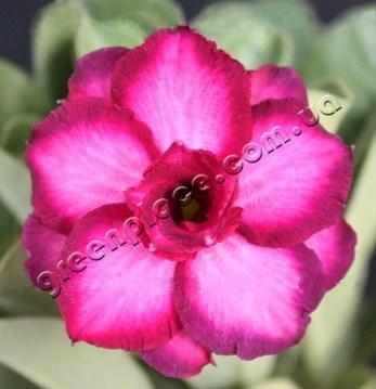 adenium obesum desert rose triple pink violet