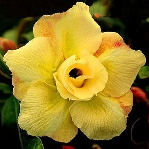 Adenium Obesum Desert rose DOUBLE YELLOW KING PARFUM