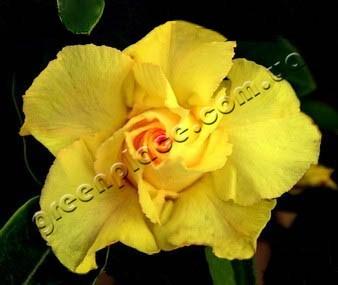 adenium obesum desert rose king pure yellow