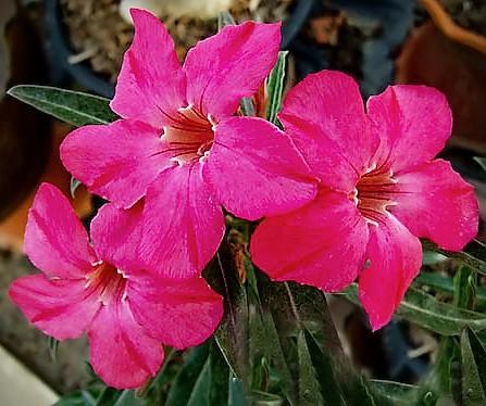 Adenium Obesum Desert rose LYN LYN
