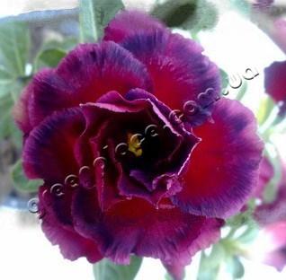 adenium obesum desert rose triple black beauty
