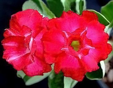 Adenium Obesum Desert rose TRIPLE FIRE&ICE