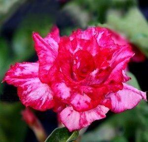 Adenium Obesum Desert rose TRIPLE ILLUSION