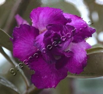 adenium obesum desert rose triple royal purple