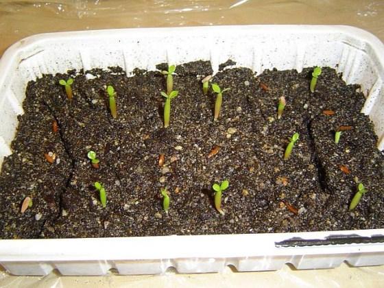 Выращивание адениумов из семян