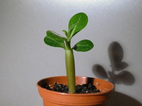 Сеянец Адениума в возрасте 1-2 месяцев
