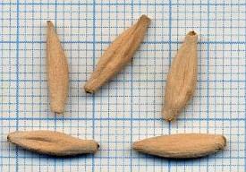 Семена Адениума арабского