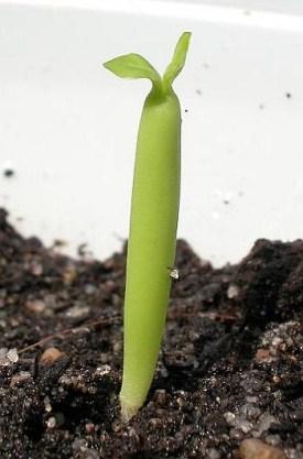 Сеянец адениума сомалийского