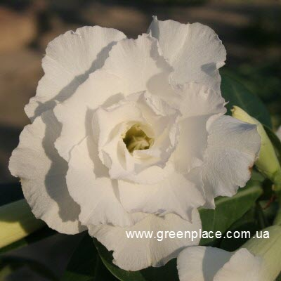 TRIPLE WHITE ROSES