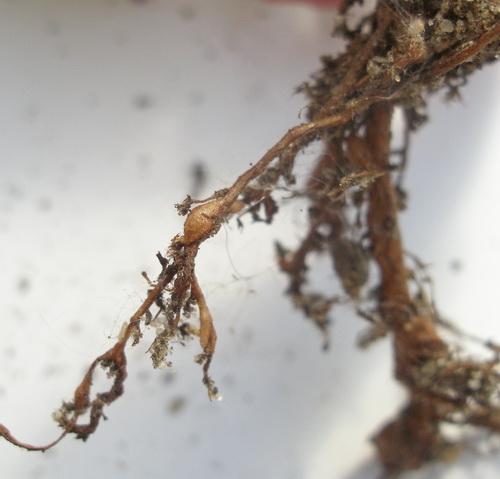 коренева нематода