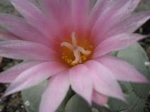 запилення кактусів